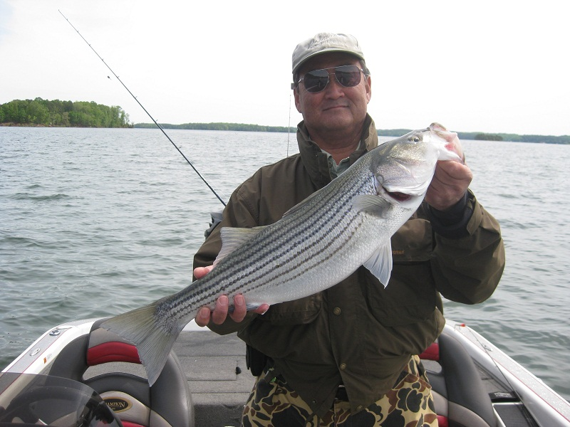 April 17 19 hartwell lake guide striper report by up for Lake hartwell striper fishing report